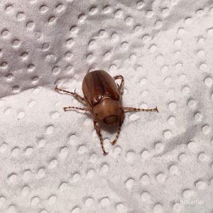 Käfer 2 N.N.
